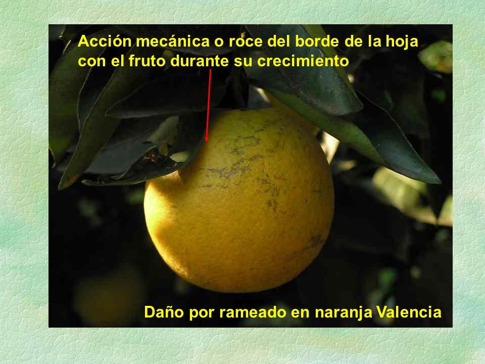 Daño por rameado en naranja Valencia