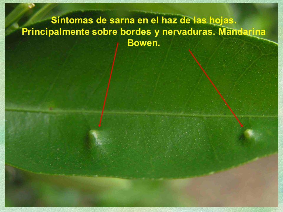 Síntomas de sarna en el haz de las hojas