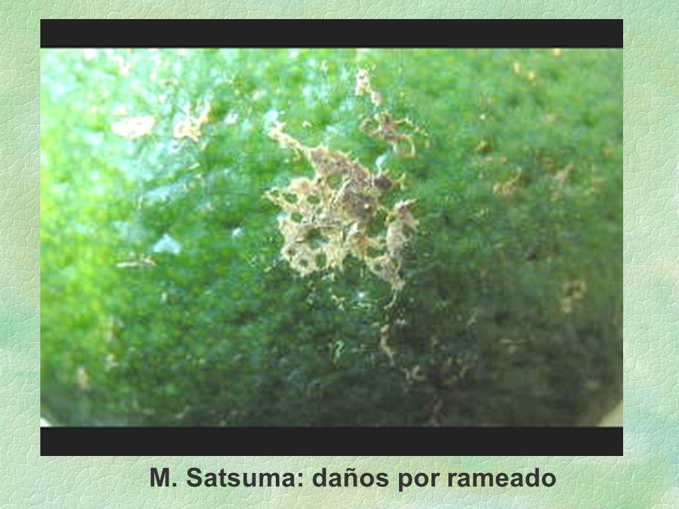 M. Satsuma: daños por rameado