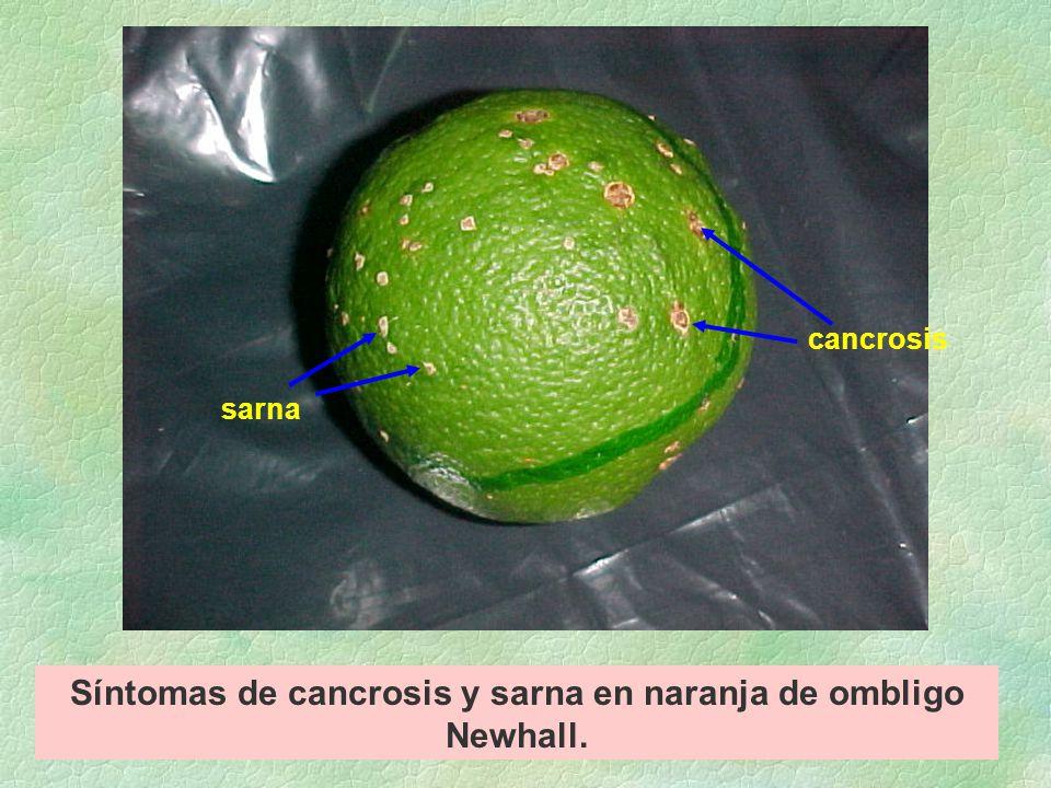 Síntomas de cancrosis y sarna en naranja de ombligo Newhall.