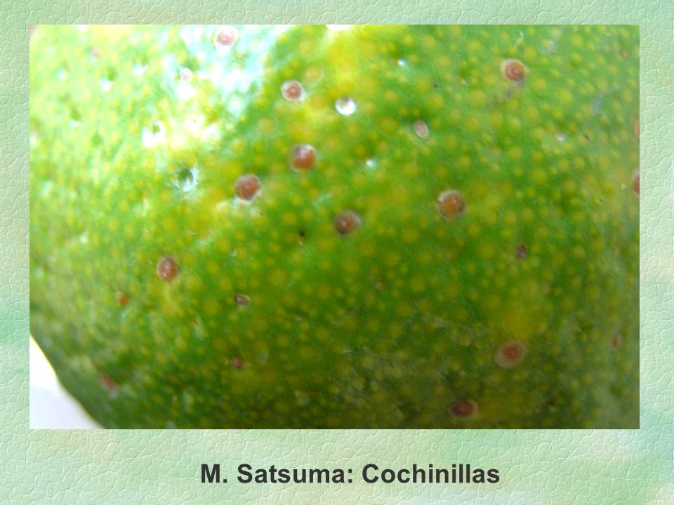 M. Satsuma: Cochinillas