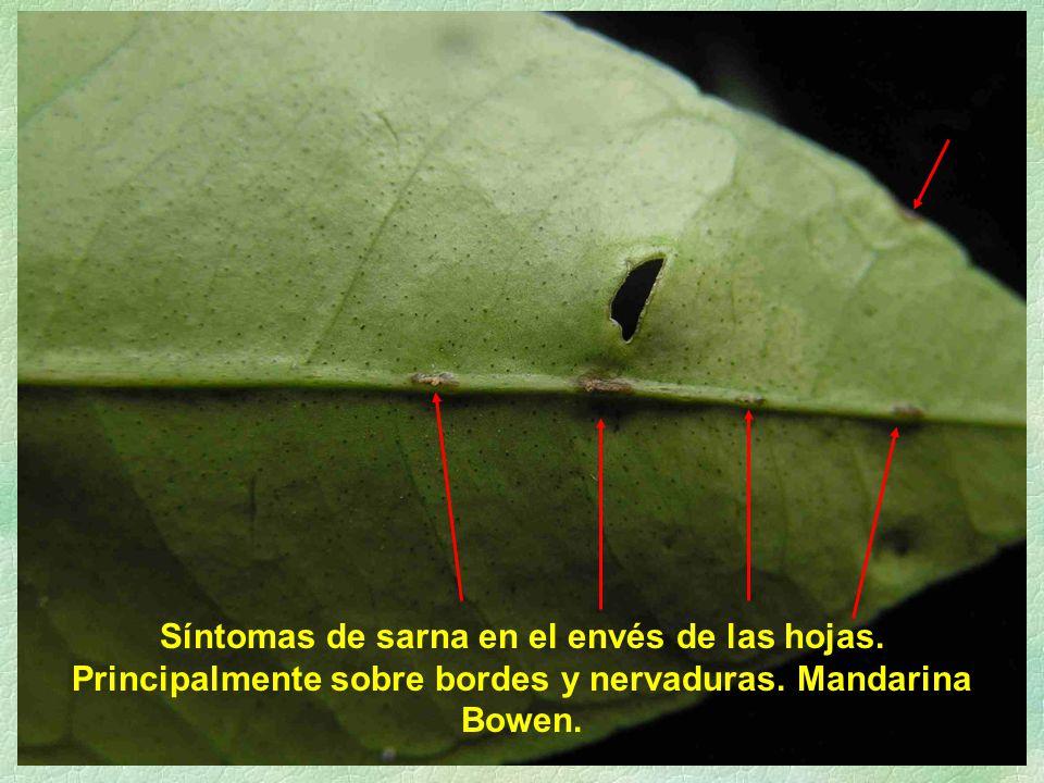 Síntomas de sarna en el envés de las hojas