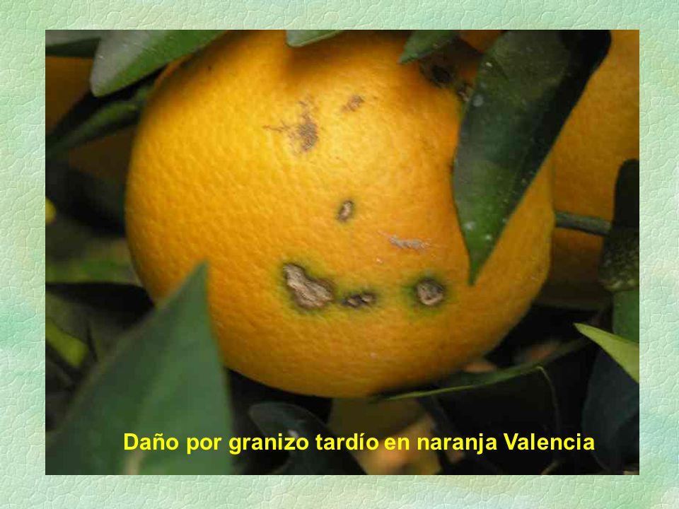 Daño por granizo tardío en naranja Valencia