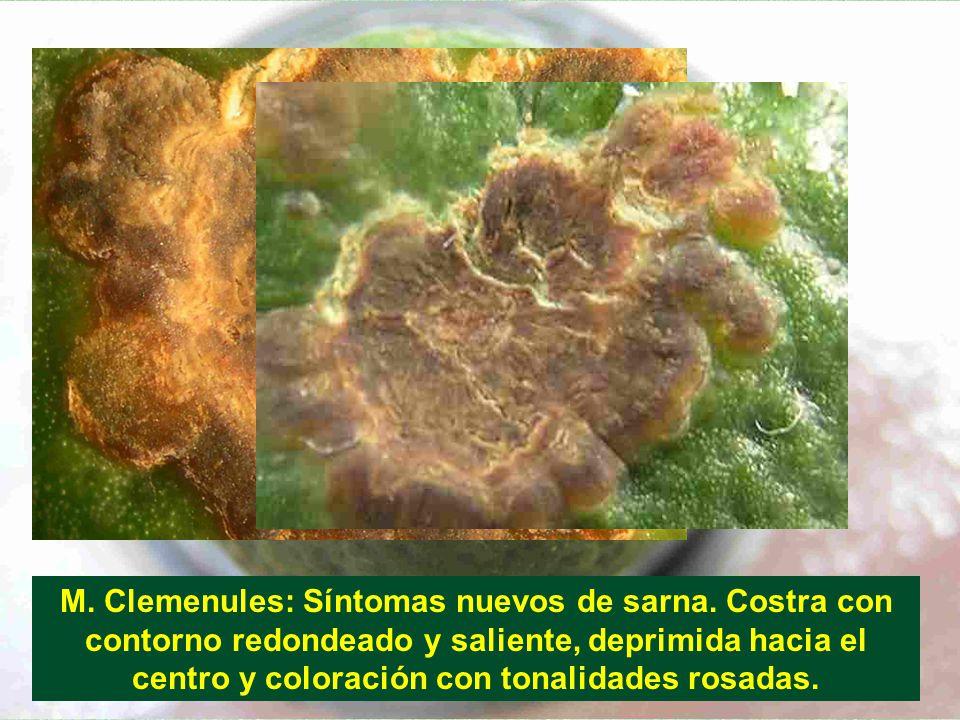 M. Clemenules: Síntomas nuevos de sarna