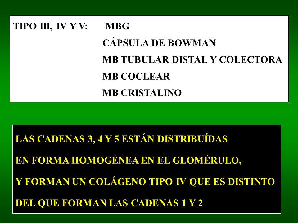 TIPO III, IV Y V: MBG CÁPSULA DE BOWMAN. MB TUBULAR DISTAL Y COLECTORA. MB COCLEAR. MB CRISTALINO.