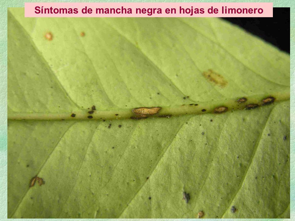 Síntomas de mancha negra en hojas de limonero