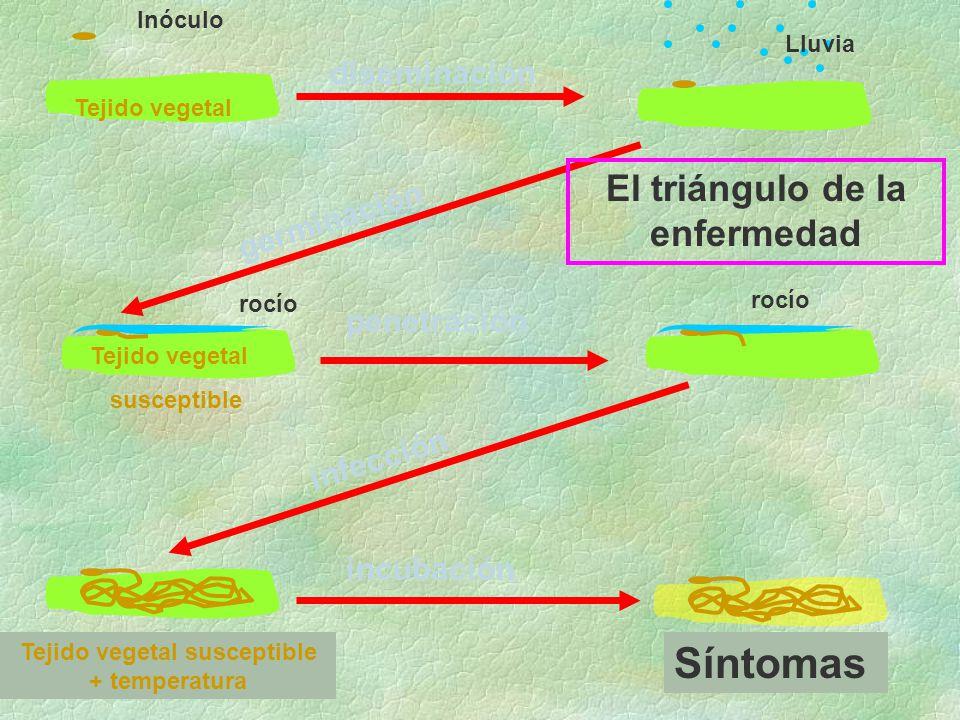 El triángulo de la enfermedad Tejido vegetal susceptible + temperatura