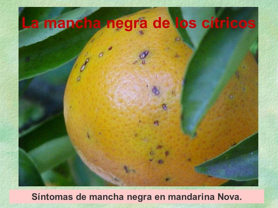 Síntomas de mancha negra en mandarina Nova.