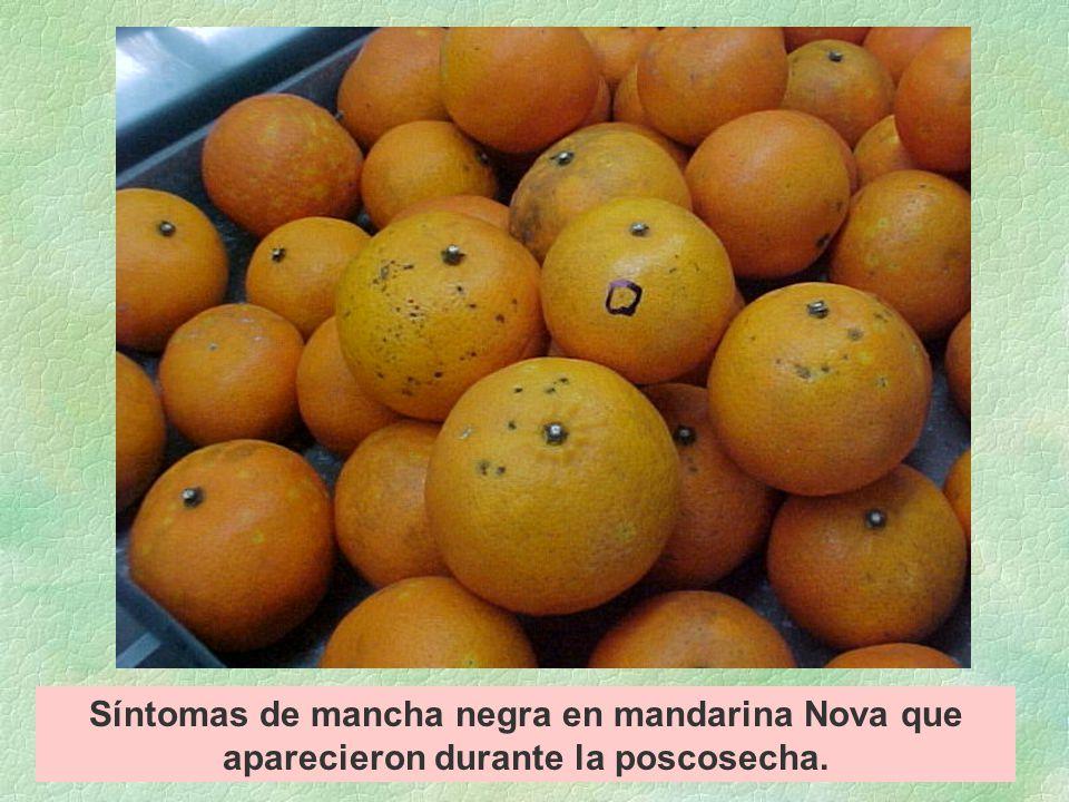 Síntomas de mancha negra en mandarina Nova que aparecieron durante la poscosecha.