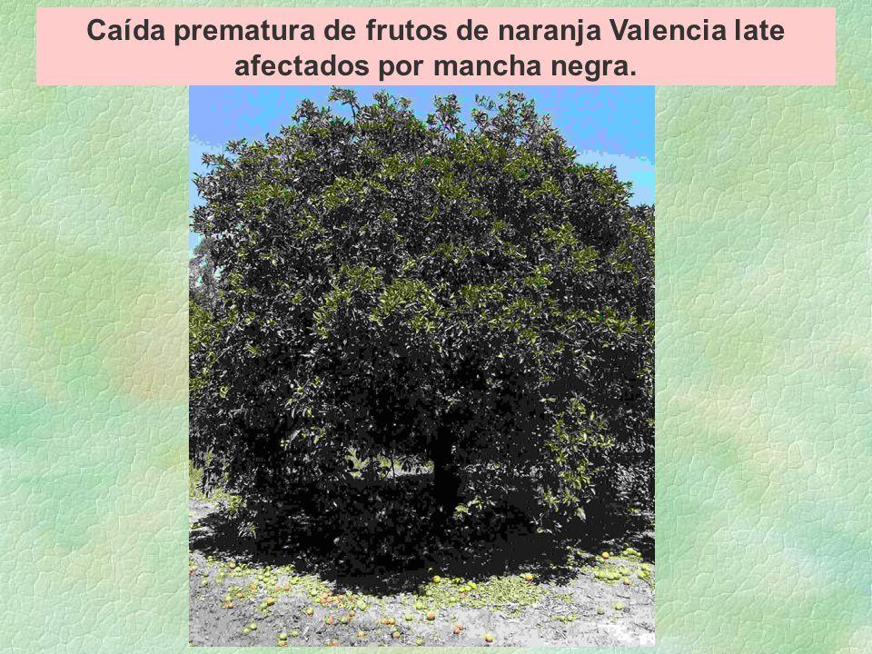 Caída prematura de frutos de naranja Valencia late afectados por mancha negra.