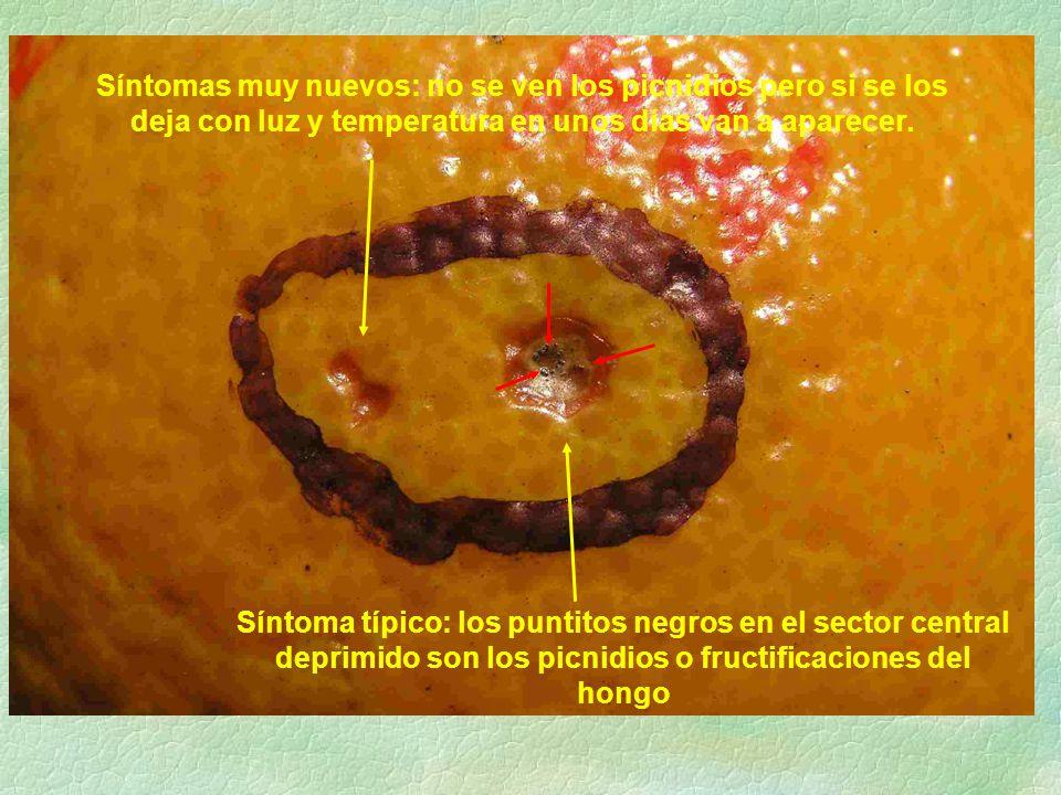 Síntomas muy nuevos: no se ven los picnidios pero si se los deja con luz y temperatura en unos días van a aparecer.