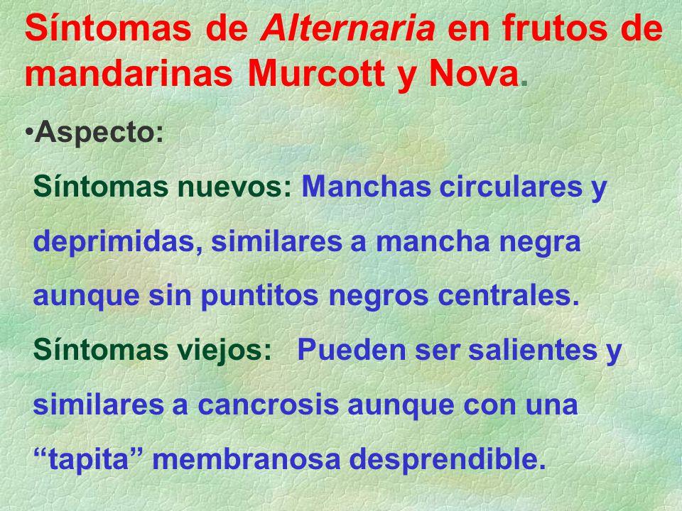 Síntomas de Alternaria en frutos de mandarinas Murcott y Nova.