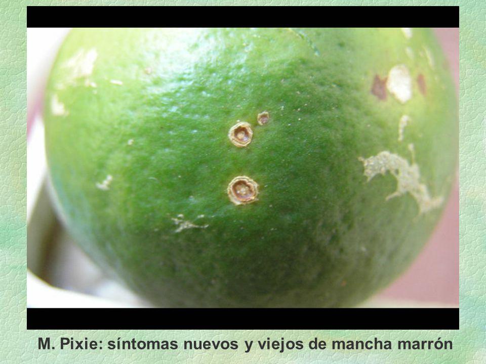 M. Pixie: síntomas nuevos y viejos de mancha marrón