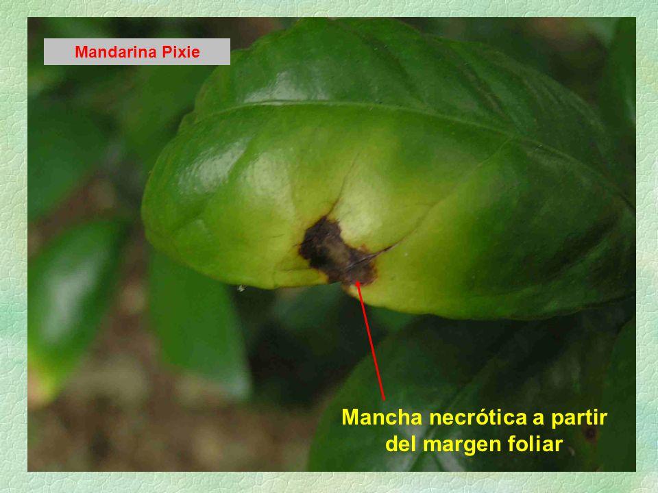 Mancha necrótica a partir del margen foliar