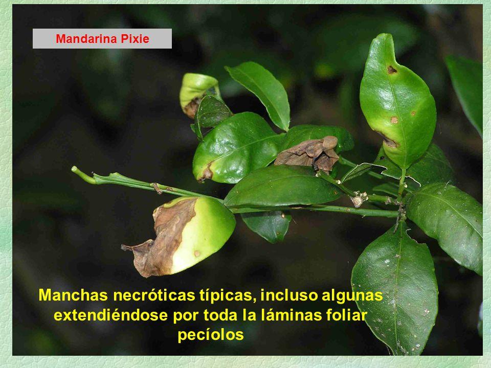 Mandarina Pixie Manchas necróticas típicas, incluso algunas extendiéndose por toda la láminas foliar pecíolos.