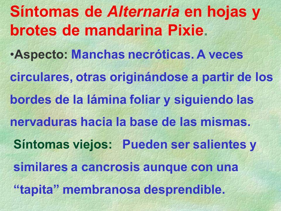 Síntomas de Alternaria en hojas y brotes de mandarina Pixie.