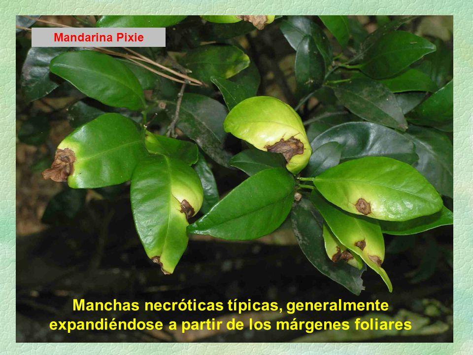 Mandarina Pixie Manchas necróticas típicas, generalmente expandiéndose a partir de los márgenes foliares.