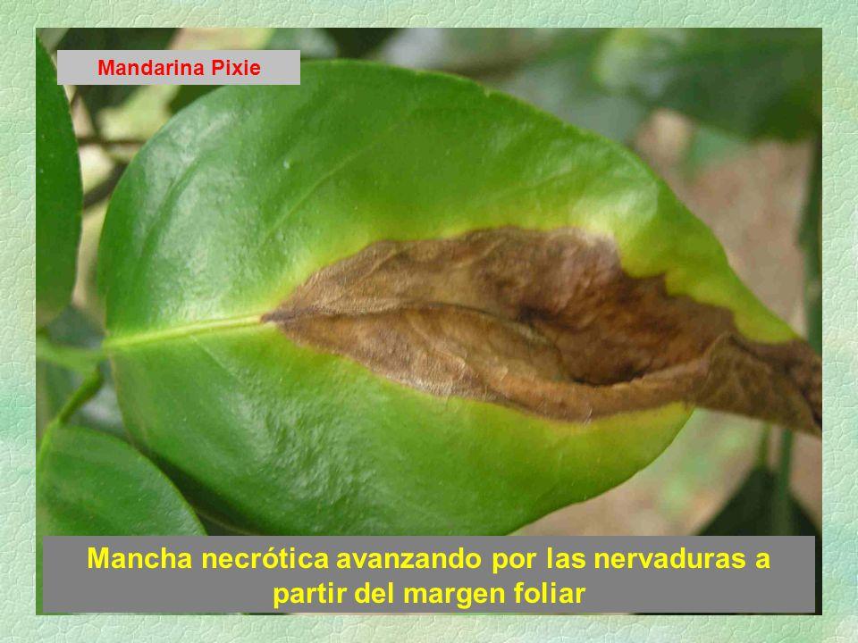 Mandarina Pixie Mancha necrótica avanzando por las nervaduras a partir del margen foliar