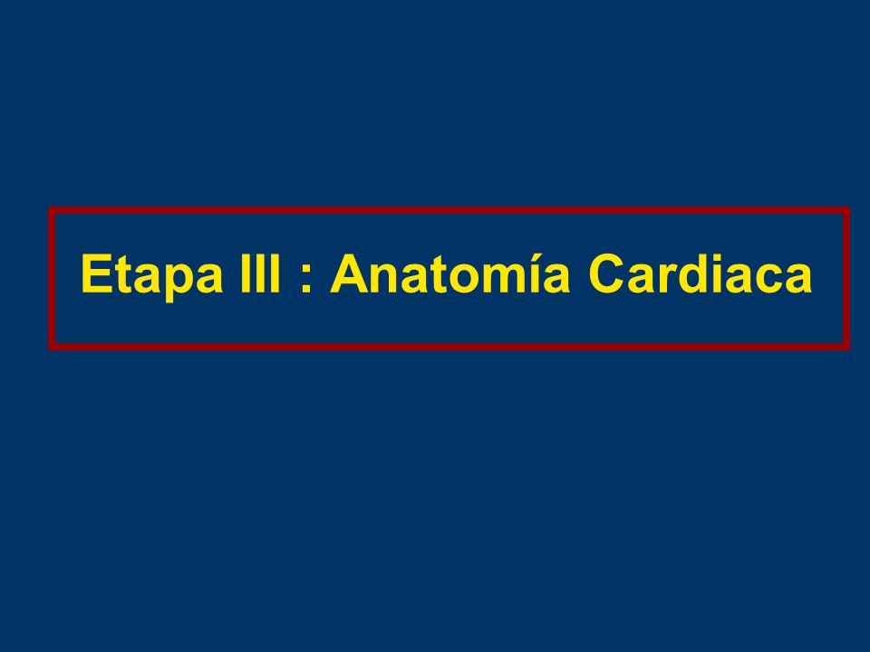 Etapa III : Anatomía Cardiaca