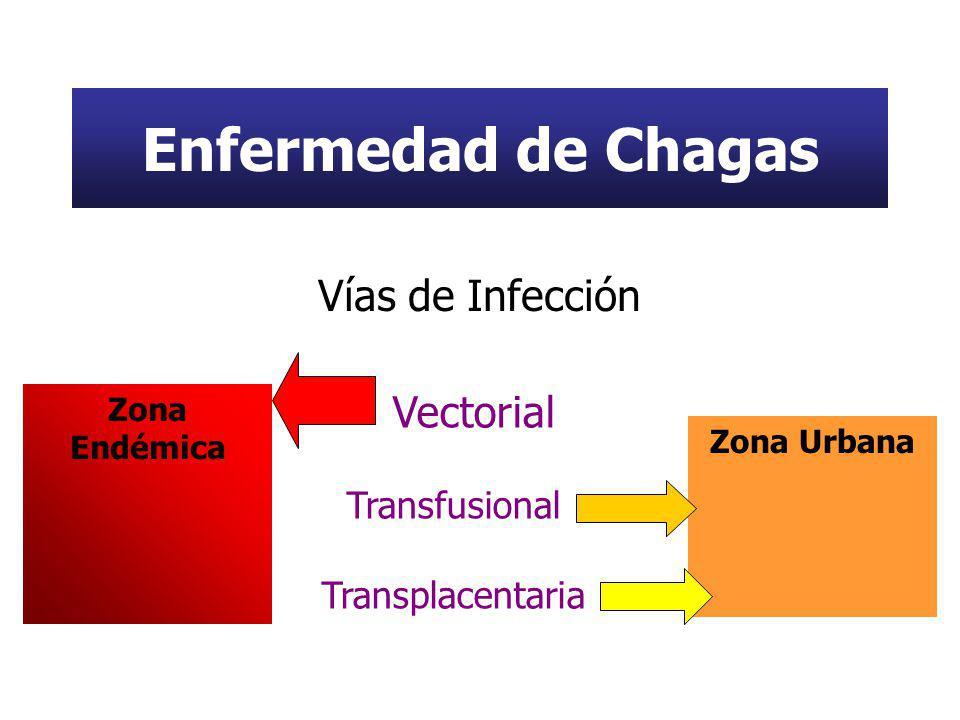 Enfermedad de Chagas Vías de Infección Vectorial Transfusional