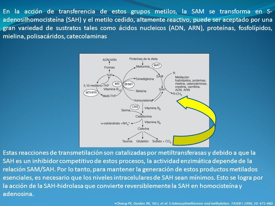 En la acción de transferencia de estos grupos metilos, la SAM se transforma en S-adenosilhomocisteína (SAH) y el metilo cedido, altamente reactivo, puede ser aceptado por una gran variedad de sustratos tales como ácidos nucleicos (ADN, ARN), proteínas, fosfolípidos, mielina, polisacáridos, catecolaminas