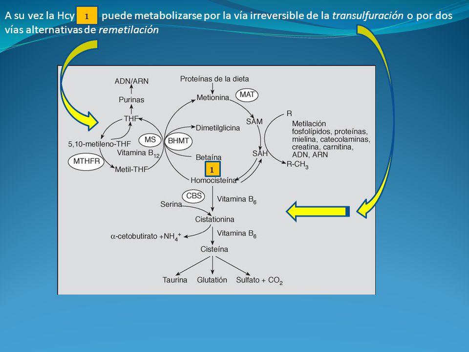 A su vez la Hcy puede metabolizarse por la vía irreversible de la transulfuración o por dos vías alternativas de remetilación