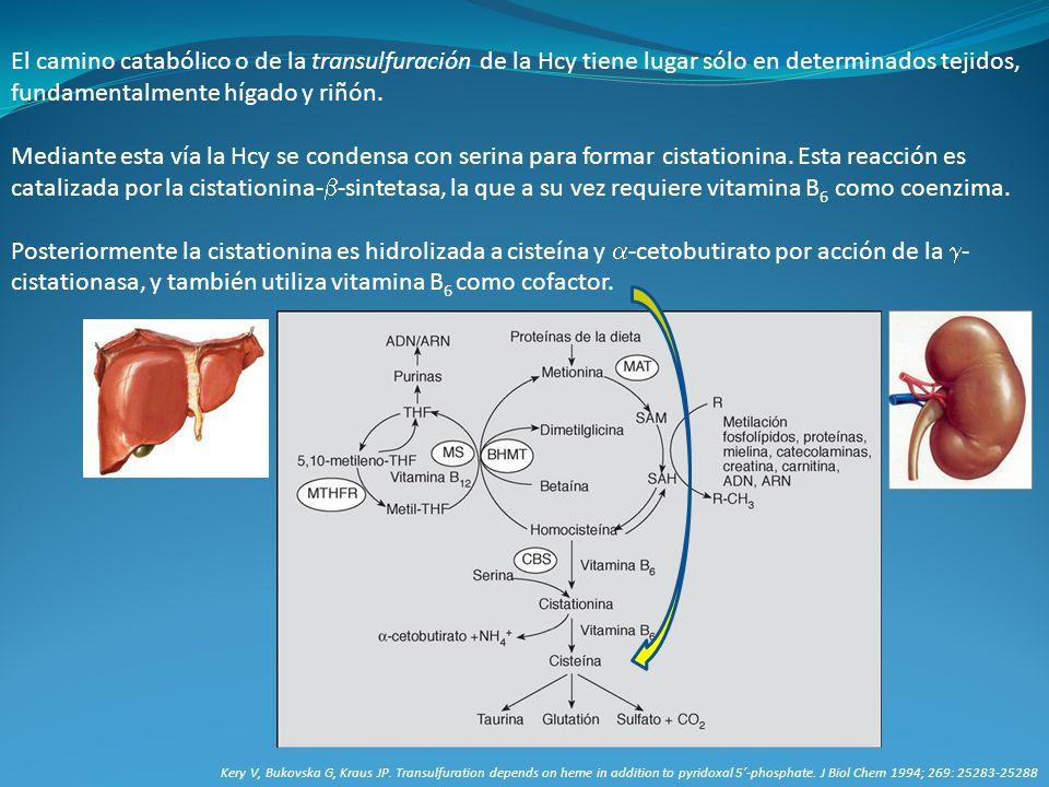 El camino catabólico o de la transulfuración de la Hcy tiene lugar sólo en determinados tejidos, fundamentalmente hígado y riñón.