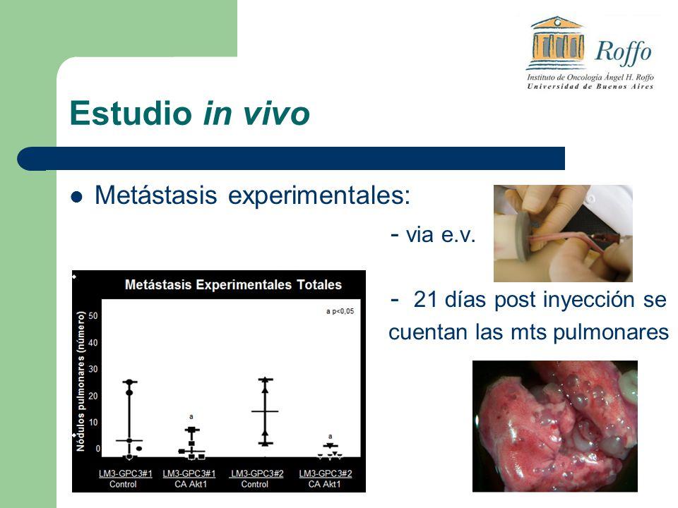 Estudio in vivo Metástasis experimentales: - via e.v.