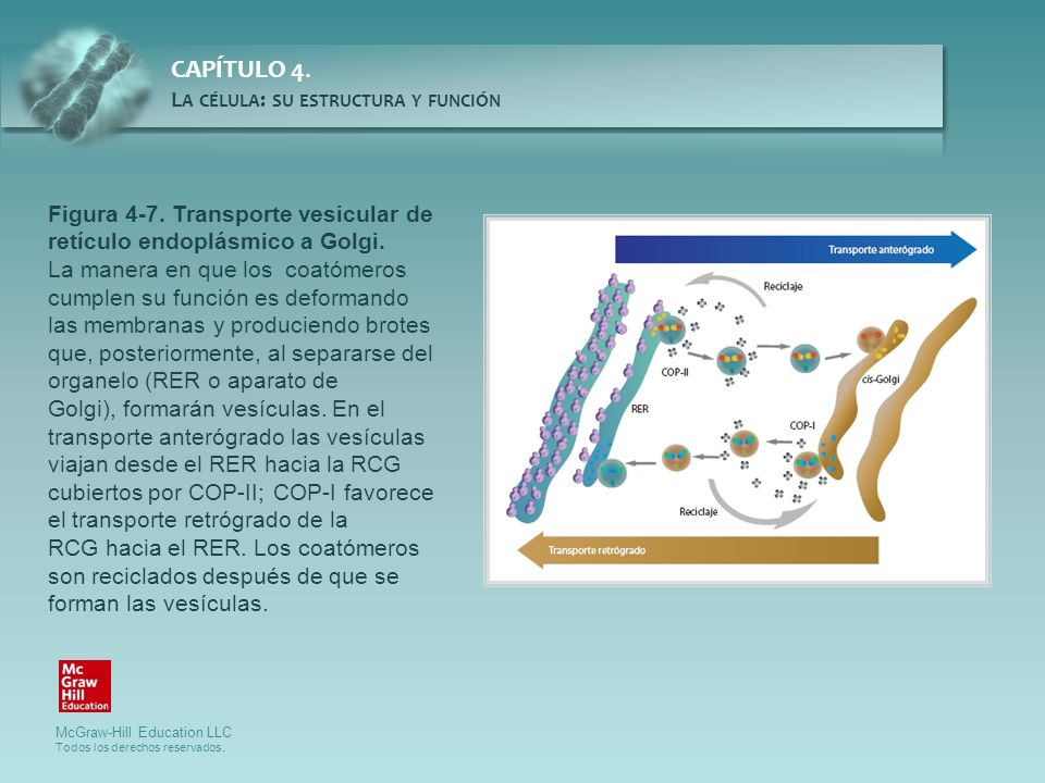 Figura 4-7. Transporte vesicular de retículo endoplásmico a Golgi