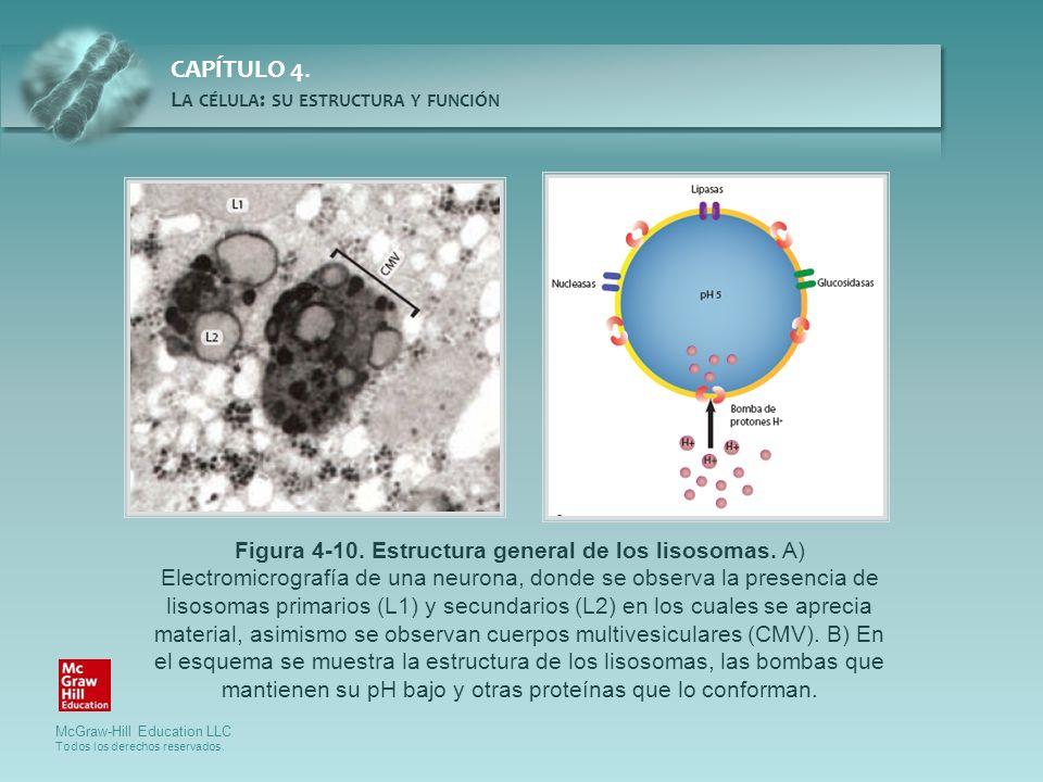 Figura 4-10. Estructura general de los lisosomas
