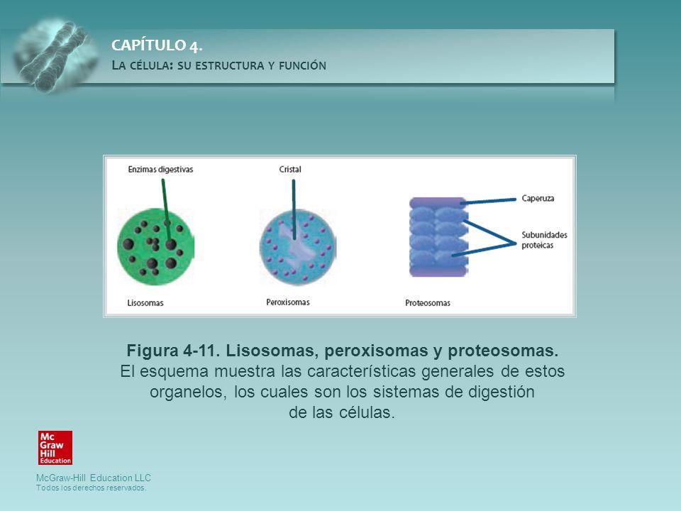 Figura 4-11. Lisosomas, peroxisomas y proteosomas