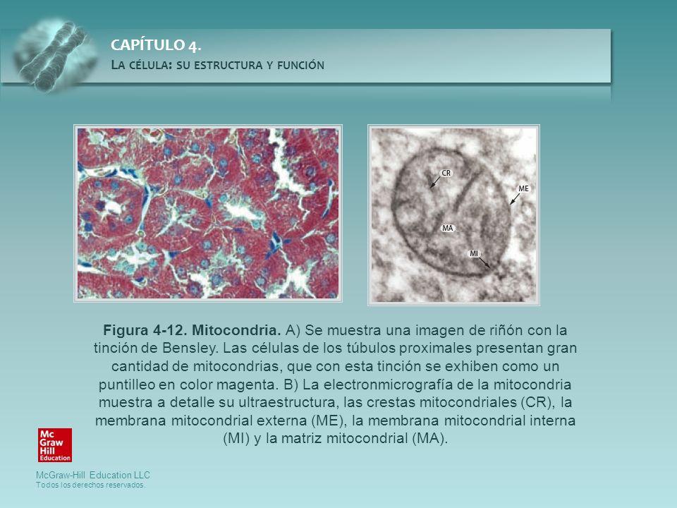 Figura 4-12. Mitocondria. A) Se muestra una imagen de riñón con la tinción de Bensley.