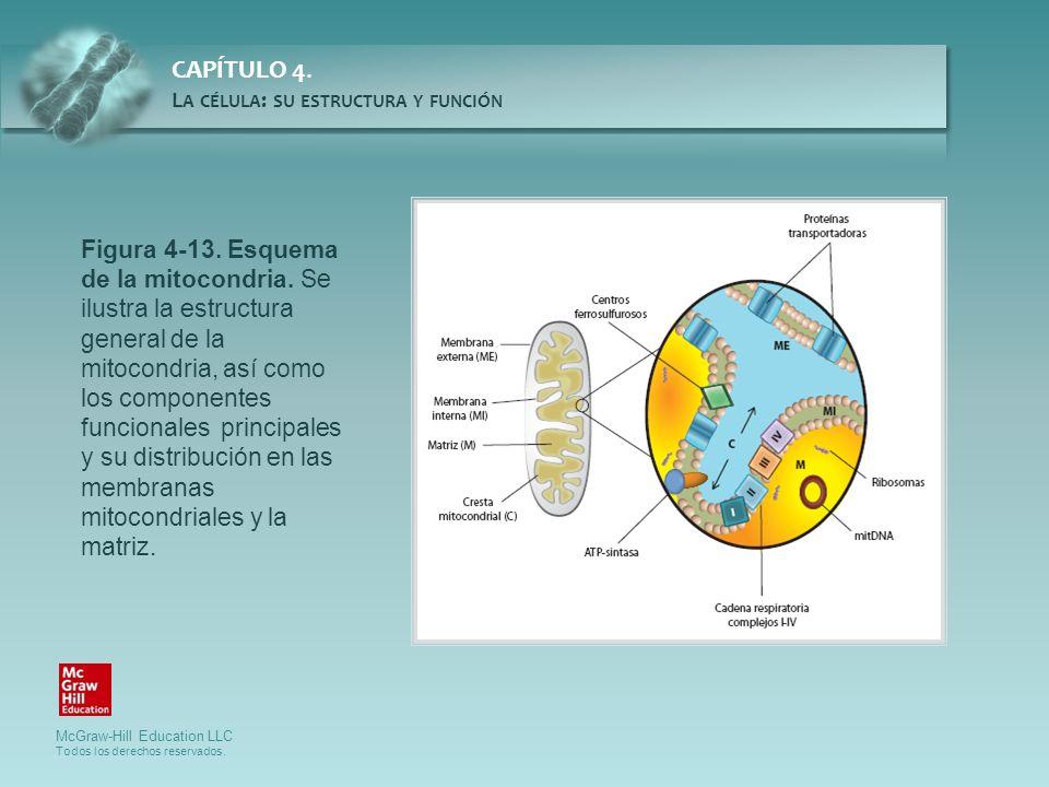Figura 4-13. Esquema de la mitocondria