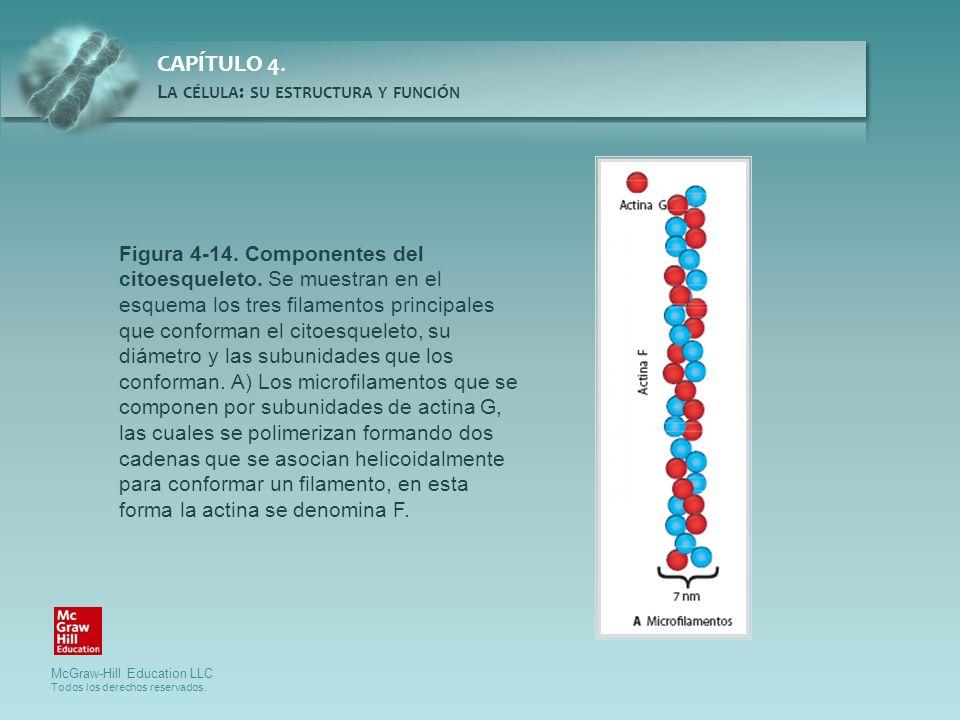 Figura 4-14. Componentes del citoesqueleto