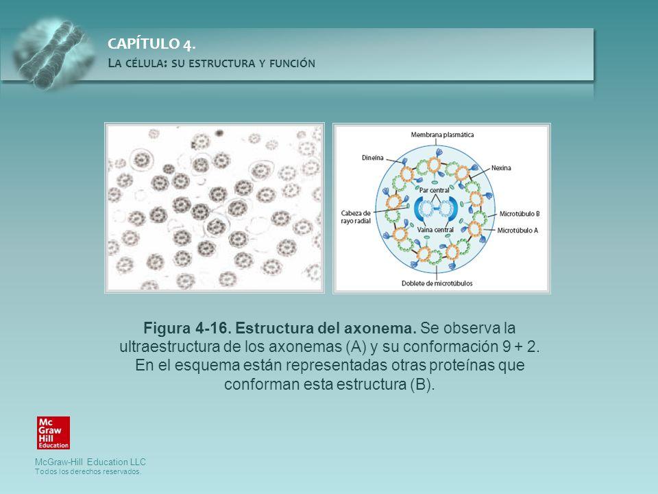 Figura 4-16. Estructura del axonema