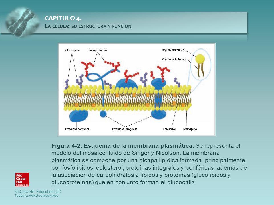 Figura 4-2. Esquema de la membrana plasmática