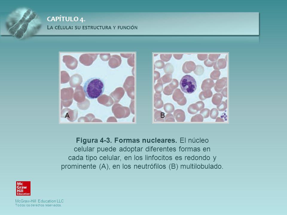 Figura 4-3. Formas nucleares. El núcleo