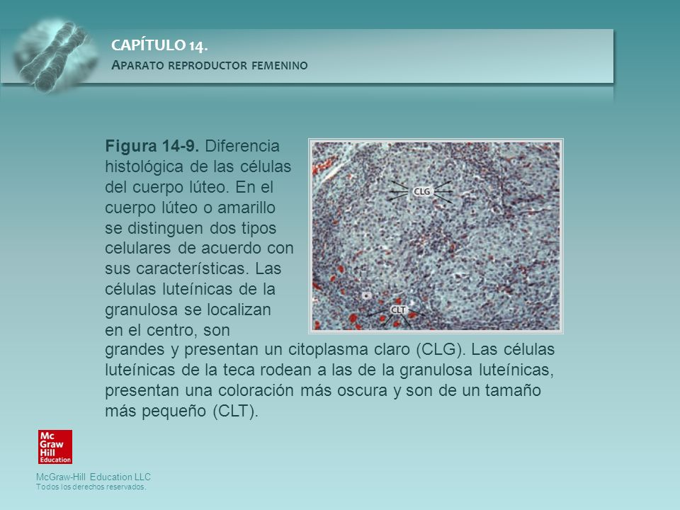 Figura 14-9. Diferencia histológica de las células del cuerpo lúteo