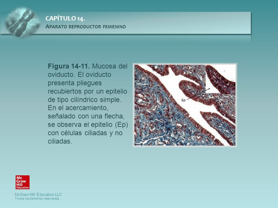 Figura 14-11. Mucosa del oviducto. El oviducto presenta pliegues