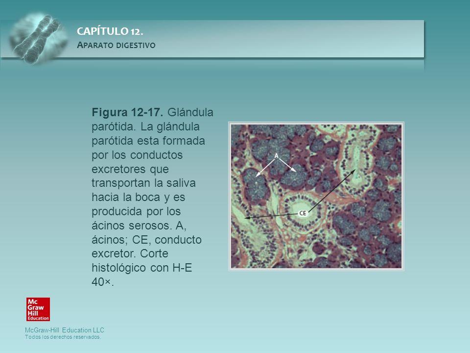 Figura 12-17. Glándula parótida. La glándula parótida esta formada