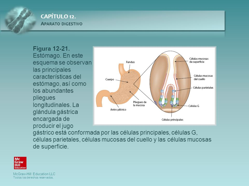 Figura 12-21. Estómago. En este