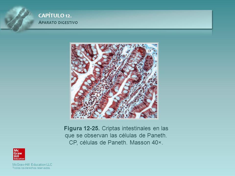 Figura 12-25.Criptas intestinales en las que se observan las células de Paneth.