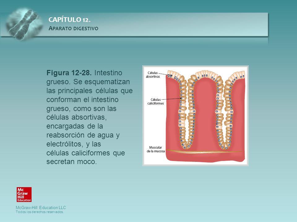 Figura 12-28. Intestino grueso