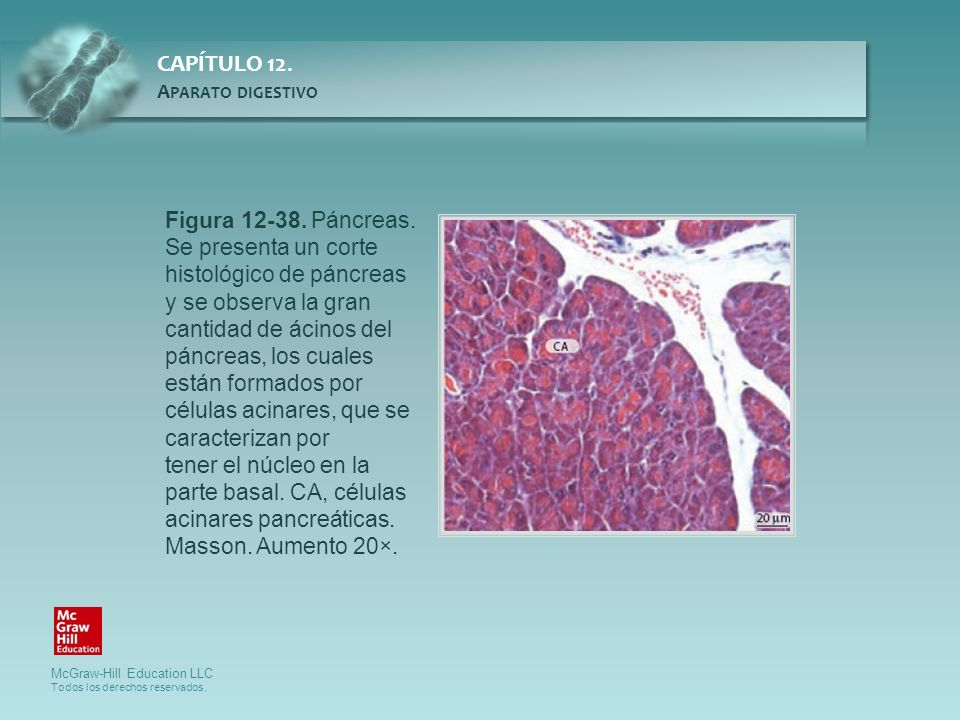 Figura 12-38. Páncreas. Se presenta un corte histológico de páncreas y se observa la gran cantidad de ácinos del páncreas, los cuales están formados por células acinares, que se caracterizan por