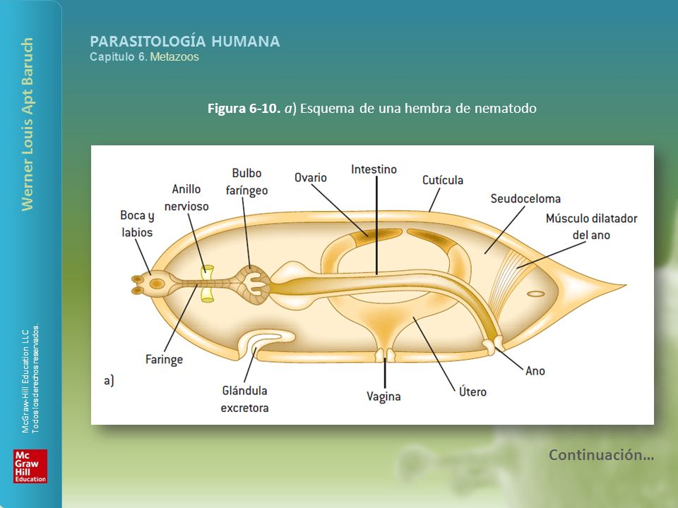 Figura 6-10. a) Esquema de una hembra de nematodo