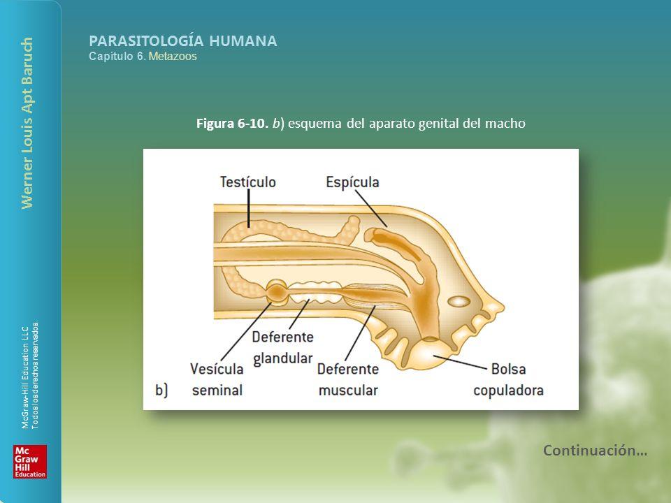 Figura 6-10. b) esquema del aparato genital del macho