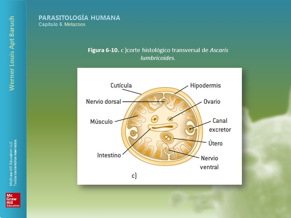 Figura 6-10. c )corte histológico transversal de Ascaris lumbricoides.