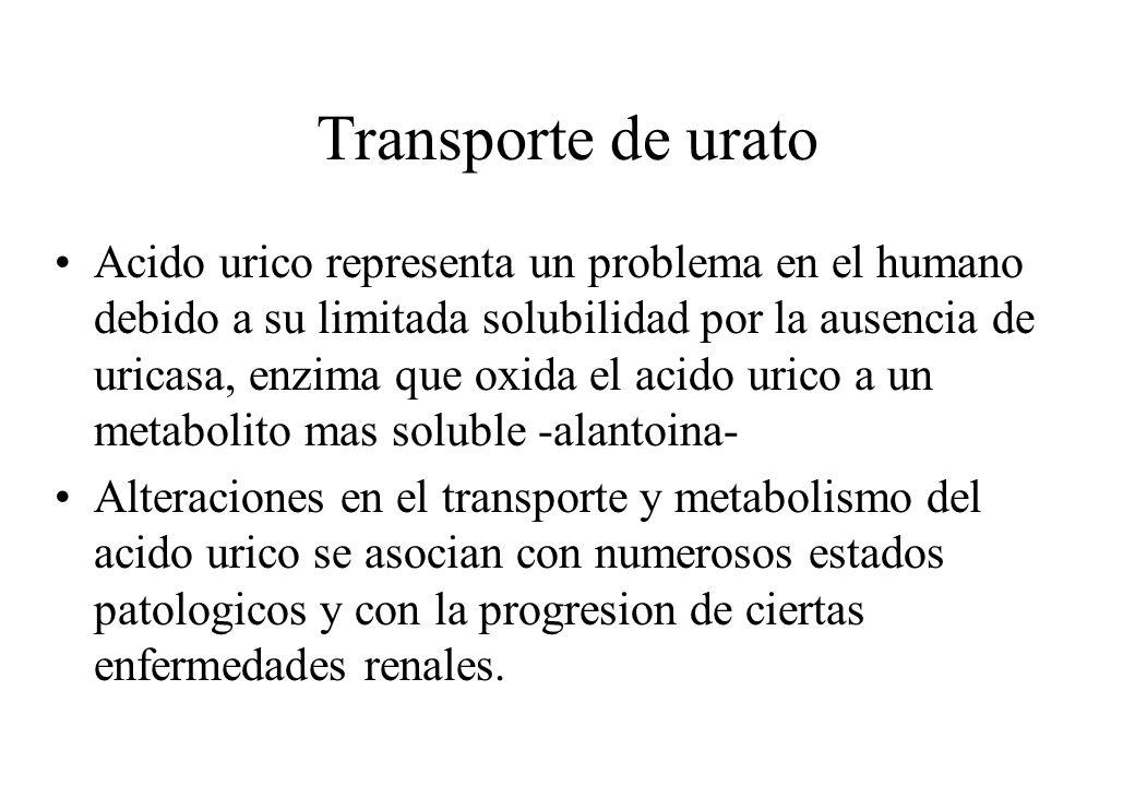 Transporte de urato