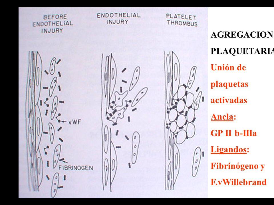 AGREGACION PLAQUETARIA. Unión de. plaquetas. activadas. Ancla: GP II b-IIIa. Ligandos: Fibrinógeno y.