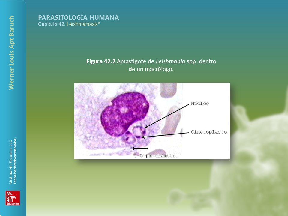 Figura 42.2 Amastigote de Leishmania spp. dentro de un macrófago.